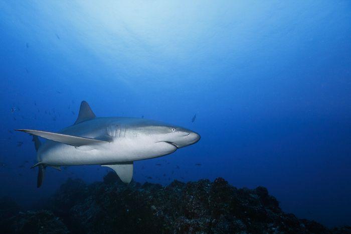Requin des Galapagos